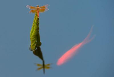 杭州西湖钱王祠门前荷塘里的锦鲤与蜻蜓(8月29日摄)。