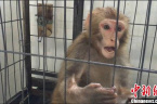 村民收养小猕猴