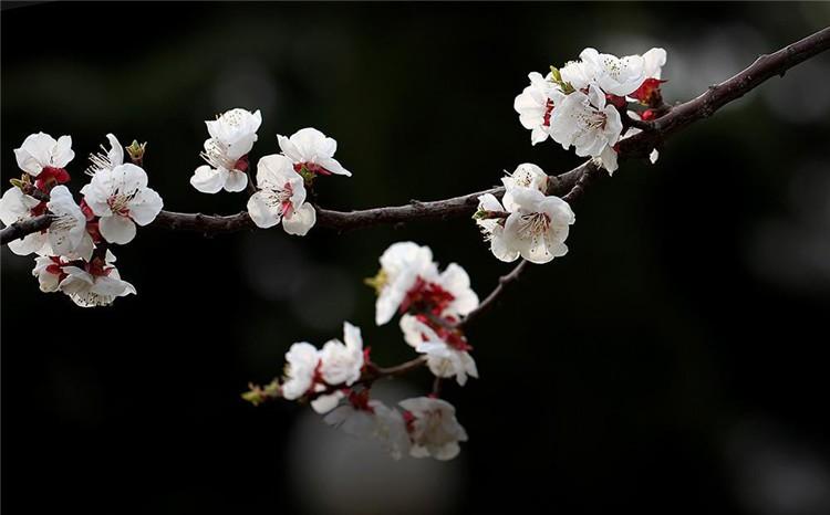 阳春三月,杏花初俏。新密市尖山风景区10万余株野生杏树竞相吐蕊,如云似霞的杏花漫山遍野,成为一道靓丽的风景。