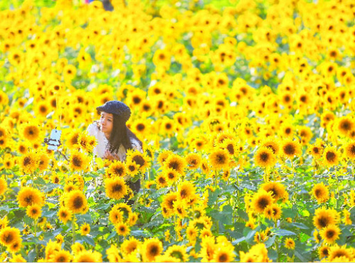 """沈阳北陵公园向日葵花海绽放 """"十一""""将迎来盛花期"""
