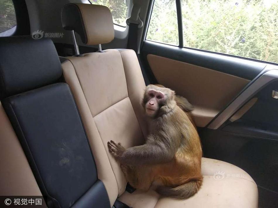 猴子钻游客车吃香蕉