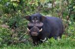 远古时代猪类竟是猛兽,你才是它的盘中餐
