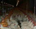 父母代鸡苗价格上涨 四季度价格将以稳为主