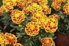 食虫花怎么种?