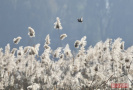 圆明园芦苇进入观赏季