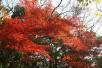 """東郊紅楓崗已""""楓""""情萬種 今年新增18種槭樹"""