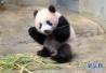 """大熊猫幼崽""""香香""""亮相东京上野动物园"""