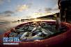21种海鱼体内检出寄生虫 可导致呼吸障碍休克