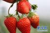 好客山东•中国博山第五届草莓采摘季启动