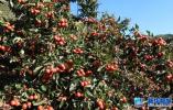 河北今年将新增百万亩高标准果品基地