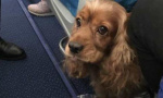 这只狗狗因为什么职责能跟主人一起在沈阳登机?
