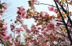 河南鹤壁樱花盛开烂漫飞舞 众多游客慕名而来