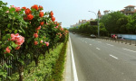 你有眼福了!宁波多条月季花卉景观大道将陆续亮相
