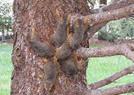 六只松鼠被树汁黏住