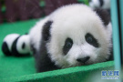超萌!熊猫宝宝憨态可掬