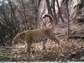 河南省黄楝树林区首次捕捉到金钱豹群体影像