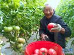 河南内黄:西红柿