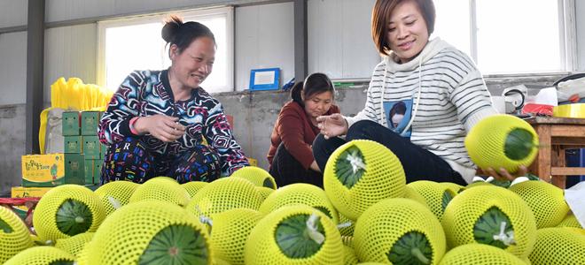 山东寒亭:现代农业产业园里的西瓜熟了
