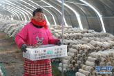 河南温县:扶贫大棚