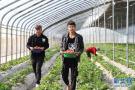 河南民权:水果种植助农致富
