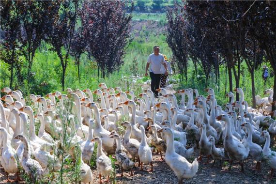 河南光山:养殖皖西大白鹅富农家