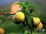 三华李是酸性水果还是碱性水果?