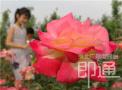 河北馆陶:花中皇后开满园