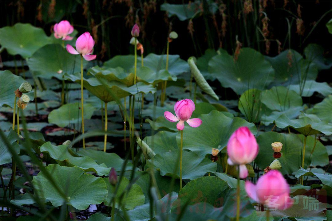 6月19日,市民在郑东新区北湖湿地公园游玩。新建的北湖湿地公园是郑州市区最大的人工湿地,该园由游客服务区、有机展示区、万柳碧荫区、缤纷花海区和湿地体验区五个功能区构成。(记者 邓放)