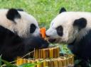 大熊猫喜迎一周岁生日