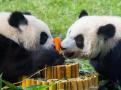 大熊猫双胞胎喜迎一周岁生日