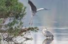 海珠湖鹭鸟飞生态美