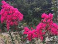 穿岩山公园情侣谷的紫薇花 美的让人心醉!