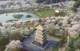 春季踏青赏花模式开启 武汉因樱花季成热门目的地