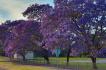 澳大利亚最美蓝楹花!