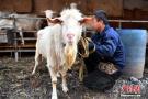 公羊产奶引围观