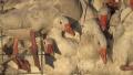 加拿大羽绒服公司被爆将鹅关进拥挤笼中虐待致死