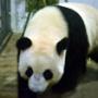 回国大熊猫暖暖