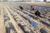 临沂试验研究可降解地膜 打好农业污染防治攻坚战