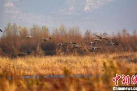 冬季的孟津黄河湿地:灰鹤豆雁等冬候鸟翻飞