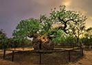 全球特别的树木