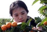 小姑娘摘桔子