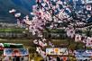 西藏林芝市波密县桃花相继绽放 奇美景色令人流连忘返