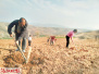洛阳市嵩县饭坡镇青山村:发展立体种植产业助力脱贫