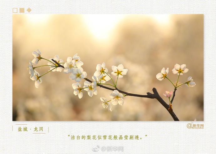 美丽!千树万树梨花开