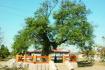 山东鼓励社会力量捐资认养古树名木 可署名冠名宣传