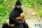 保护区黑叶猴喜添丁