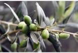 凉山油橄榄出山记