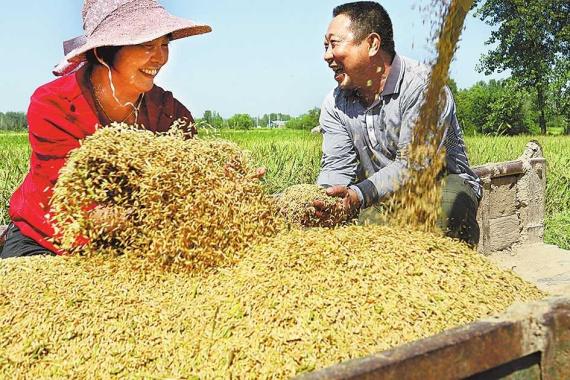 河南罗山:金秋时节 稻谷飘香