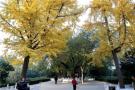 观银杏赏古树 郑州最老的银杏林你看了吗?