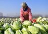丰产不丰收 大白菜为什么会频繁滞销?